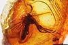 http://mczbase.mcz.harvard.edu/specimen_images/entomology/paleo/large/PALE-9551_Mycetophilidae.jpg