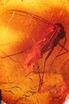 http://mczbase.mcz.harvard.edu/specimen_images/entomology/paleo/large/PALE-9552_Mycetophilidae.jpg