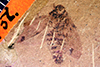 http://mczbase.mcz.harvard.edu/specimen_images/entomology/paleo/large/PALE-957_Palecphora_communis_type_2.jpg