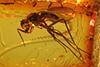 http://mczbase.mcz.harvard.edu/specimen_images/entomology/paleo/large/PALE-9635_Dolichopodidae.jpg
