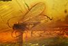 http://mczbase.mcz.harvard.edu/specimen_images/entomology/paleo/large/PALE-9637_Sciaridae.jpg