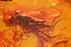 http://mczbase.mcz.harvard.edu/specimen_images/entomology/paleo/large/PALE-9638_Dolichopodidae.jpg
