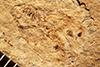 http://mczbase.mcz.harvard.edu/specimen_images/entomology/paleo/large/PALE-964_Palecphora_communis_type.jpg
