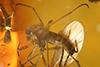 http://mczbase.mcz.harvard.edu/specimen_images/entomology/paleo/large/PALE-9654_syn3_Sciaridae.jpg