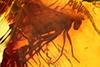 http://mczbase.mcz.harvard.edu/specimen_images/entomology/paleo/large/PALE-9659_Palaeomedeterus_sp.jpg
