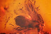 http://mczbase.mcz.harvard.edu/specimen_images/entomology/paleo/large/PALE-9679_Anisopodidae_qm.jpg