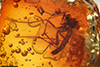 http://mczbase.mcz.harvard.edu/specimen_images/entomology/paleo/large/PALE-9681_Mycetophilidae_1.jpg