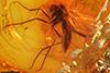 http://mczbase.mcz.harvard.edu/specimen_images/entomology/paleo/large/PALE-9698_Mycetophilidae.jpg