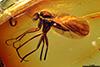 http://mczbase.mcz.harvard.edu/specimen_images/entomology/paleo/large/PALE-9736_Mycetophilidae.jpg