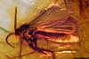 http://mczbase.mcz.harvard.edu/specimen_images/entomology/paleo/large/PALE-9737_syn2_Mycetophilidae.jpg