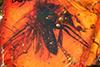http://mczbase.mcz.harvard.edu/specimen_images/entomology/paleo/large/PALE-9744_Mycetophilidae.jpg