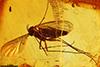 http://mczbase.mcz.harvard.edu/specimen_images/entomology/paleo/large/PALE-9754_Mycetophilidae.jpg