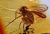 http://mczbase.mcz.harvard.edu/specimen_images/entomology/paleo/large/PALE-9756_Mycetophilidae.jpg