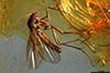 http://mczbase.mcz.harvard.edu/specimen_images/entomology/paleo/large/PALE-9775_Mycetophilidae.jpg