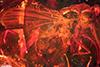 http://mczbase.mcz.harvard.edu/specimen_images/entomology/paleo/large/PALE-9791_syn2_Dolichopodidae.jpg