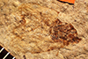 http://mczbase.mcz.harvard.edu/specimen_images/entomology/paleo/large/PALE-992_Palecphora_praevalens_type.jpg