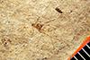 http://mczbase.mcz.harvard.edu/specimen_images/entomology/paleo/large/PALE-998_Aphidopsis_subterna_type.jpg