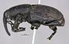 http://mczbase.mcz.harvard.edu/specimen_images/entomology/large/MCZ-ENT00000124_Scyphophorus_robustior_hal.jpg