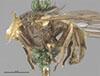 http://mczbase.mcz.harvard.edu/specimen_images/entomology/large/MCZ-ENT00000889_Chrysochlamys_nigripes_hal.jpg
