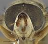 http://mczbase.mcz.harvard.edu/specimen_images/entomology/large/MCZ-ENT00000890_Chrysochlamys_dives_hef.jpg