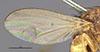 http://mczbase.mcz.harvard.edu/specimen_images/entomology/large/MCZ-ENT00001678_Sapromyza_bispina_fwg.jpg