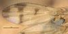http://mczbase.mcz.harvard.edu/specimen_images/entomology/large/MCZ-ENT00001679_Sapromyza_compedita_fwg.jpg