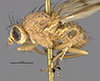 http://mczbase.mcz.harvard.edu/specimen_images/entomology/large/MCZ-ENT00001679_Sapromyza_compedita_hal.jpg