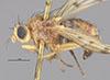 http://mczbase.mcz.harvard.edu/specimen_images/entomology/large/MCZ-ENT00001681_Sapromyza_fraterna_hal.jpg