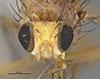 http://mczbase.mcz.harvard.edu/specimen_images/entomology/large/MCZ-ENT00001681_Sapromyza_fraterna_hef.jpg