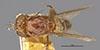 http://mczbase.mcz.harvard.edu/specimen_images/entomology/large/MCZ-ENT00001688_Sapromyza_cincta_had.jpg