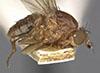 http://mczbase.mcz.harvard.edu/specimen_images/entomology/large/MCZ-ENT00001688_Sapromyza_cincta_hal.jpg
