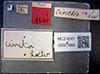 http://mczbase.mcz.harvard.edu/specimen_images/entomology/large/MCZ-ENT00001688_Sapromyza_cincta_lbs.jpg