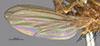 http://mczbase.mcz.harvard.edu/specimen_images/entomology/large/MCZ-ENT00001689_Pachycerina_verticalis_fwg.jpg