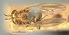 http://mczbase.mcz.harvard.edu/specimen_images/entomology/large/MCZ-ENT00001689_Pachycerina_verticalis_had.jpg