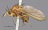 http://mczbase.mcz.harvard.edu/specimen_images/entomology/large/MCZ-ENT00001689_Pachycerina_verticalis_hal.jpg