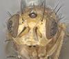http://mczbase.mcz.harvard.edu/specimen_images/entomology/large/MCZ-ENT00001689_Pachycerina_verticalis_hef.jpg
