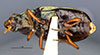 http://mczbase.mcz.harvard.edu/specimen_images/entomology/large/MCZ-ENT00002006_Bembidium_aenulum_hav.jpg