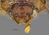http://mczbase.mcz.harvard.edu/specimen_images/entomology/large/MCZ-ENT00003334_Ochodaeus_sparsus_hef.jpg