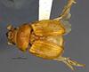 http://mczbase.mcz.harvard.edu/specimen_images/entomology/large/MCZ-ENT00003337_Ochodaeus_complex_had.jpg