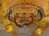 http://mczbase.mcz.harvard.edu/specimen_images/entomology/large/MCZ-ENT00003337_Ochodaeus_complex_hef.jpg