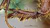 http://mczbase.mcz.harvard.edu/specimen_images/entomology/large/MCZ-ENT00003339_Ochodaeus_striatus_ftb.jpg