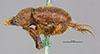 http://mczbase.mcz.harvard.edu/specimen_images/entomology/large/MCZ-ENT00003339_Ochodaeus_striatus_hal.jpg