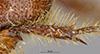 http://mczbase.mcz.harvard.edu/specimen_images/entomology/large/MCZ-ENT00003339_Ochodaeus_striatus_htb.jpg