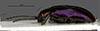 Media of type image, MCZ:Ent:4392 Identified as Haltica torquata type status Type of Haltica torquata. . Aspect: habitus dorsal view