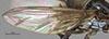 http://mczbase.mcz.harvard.edu/specimen_images/entomology/large/MCZ-ENT00007662_Baccha_johnsoni_fwg.jpg
