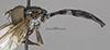 http://mczbase.mcz.harvard.edu/specimen_images/entomology/large/MCZ-ENT00007662_Baccha_johnsoni_hal.jpg
