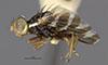 http://mczbase.mcz.harvard.edu/specimen_images/entomology/large/MCZ-ENT00007723_Rhagoletis_juniperinus_hal.jpg