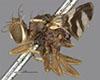 http://mczbase.mcz.harvard.edu/specimen_images/entomology/large/MCZ-ENT00007724_Rhagoletis_zephyria_hal.jpg