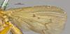 http://mczbase.mcz.harvard.edu/specimen_images/entomology/large/MCZ-ENT00007835_Tetanocera_obtusifibula_fwg.jpg