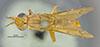 http://mczbase.mcz.harvard.edu/specimen_images/entomology/large/MCZ-ENT00007835_Tetanocera_obtusifibula_had.jpg